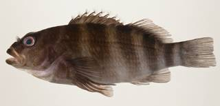 To NMNH Extant Collection (Isocirrhitus sexfasciatus USNM 424074 photograph lateral view)