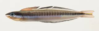 To NMNH Extant Collection (Plagiotremus tapeinosoma USNM 423237 photograph lateral view)