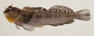 To NMNH Extant Collection (Entomacrodus thalassinus USNM 424040 photograph lateral view)