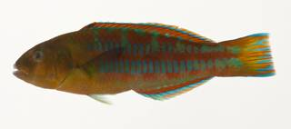 To NMNH Extant Collection (Thalassoma trilobatum USNM 424103 photograph lateral view)