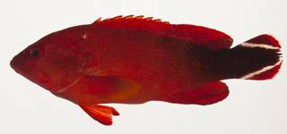 To NMNH Extant Collection (Cephalopholis urodeta USNM 424101 photograph lateral view)
