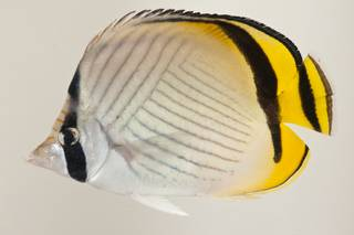 To NMNH Extant Collection (Chaetodon vagabundus USNM 424124 photograph lateral view)