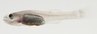 To NMNH Extant Collection (Pseudamiops USNM 422856 photograph lateral view)