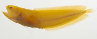 To NMNH Extant Collection (Bythitidae USNM 423335 photograph lateral view)