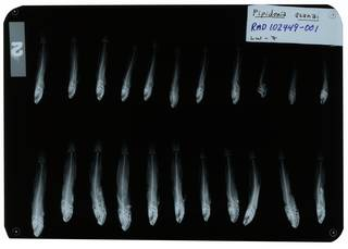 To NMNH Extant Collection (Gobiopsis woodsi RAD102449-001)