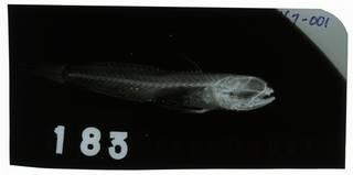 To NMNH Extant Collection (Cryptocentrus pretoriusi RAD102467-001)