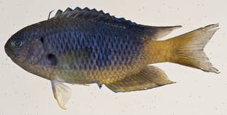 To NMNH Extant Collection (Pomacentrus coelestis USNM 412077 photograph lateral view)