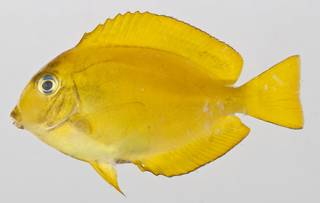 To NMNH Extant Collection (Acanthurus reversus USNM 412074 photograph lateral view)