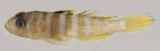 To NMNH Extant Collection (Priolepis triops USNM 411087 photograph lateral view)