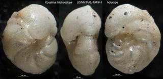 To NMNH Paleobiology Collection (Rosalina hitchcockae USNM PAL 454941 holotype)