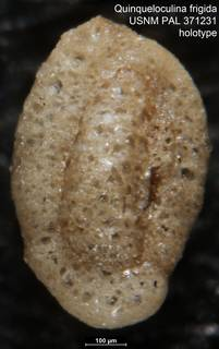 To NMNH Paleobiology Collection (Quinqueloculina frigida USNM PAL 371231 holotype 1)