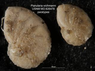 To NMNH Paleobiology Collection (Planularia wichmanni USNM MO 626478 paratypes)