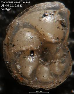 To NMNH Paleobiology Collection (Planularia venezuelana USNM CC 23583 holotype)