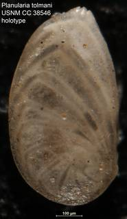 To NMNH Paleobiology Collection (Planularia tolmani USNM CC 38546 holotype)