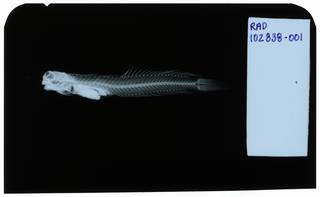 To NMNH Extant Collection (Salarias cyanostigma RAD102838-001)