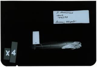 To NMNH Extant Collection (Istiblennius dussumieri RAD102847-001)