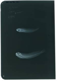 To NMNH Extant Collection (Salarias gilberti RAD102996-001)
