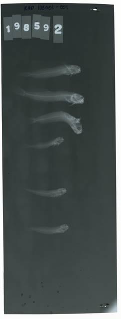 To NMNH Extant Collection (Entomacrodus caudofasciatus RAD103001-001)