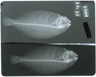 To NMNH Extant Collection (Citharichthys panamensis RAD103776-001)