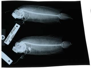 To NMNH Extant Collection (Samariscus longimanus RAD103813-001)
