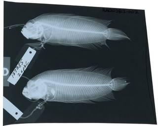 To NMNH Extant Collection (Samariscus longimanus RAD103813-002)