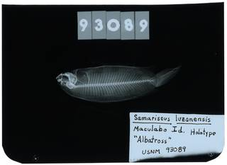 To NMNH Extant Collection (Samariscus luzonensis RAD103817-002)