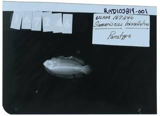 To NMNH Extant Collection (Samariscus triocellatus RAD103819-001)