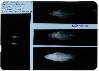 To NMNH Extant Collection (Poecilia cuneata RAD101990-001)