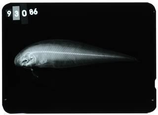 To NMNH Extant Collection (Cynoglossus suyeni RAD107209-001)