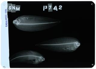 To NMNH Extant Collection (Soleichthys heterorhinos RAD107232-001)