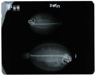 To NMNH Extant Collection (Gymnachirus melas RAD107241-001)