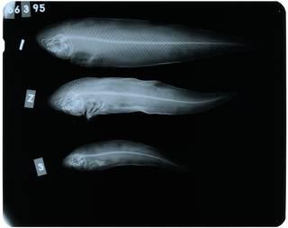 To NMNH Extant Collection (Areliscus rhomaleus RAD107247-001)