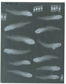 To NMNH Extant Collection (Entomacrodus vomerinus RAD103036-003)