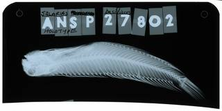 To NMNH Extant Collection (Scartichthys basiliscus RAD103286-001)