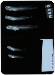 To NMNH Extant Collection (Blenniella bilitonensis RAD106038-001)