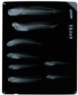 To NMNH Extant Collection (Istiblennius zebra RAD106500-001)