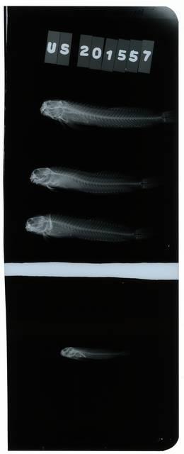 To NMNH Extant Collection (Entomacrodus striatus RAD106511-001)