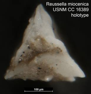 To NMNH Paleobiology Collection (Reussella miocenica USNM CC 16389 holotype 2)