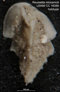 To NMNH Paleobiology Collection (Reussella miocenica USNM CC 16389 holotype)