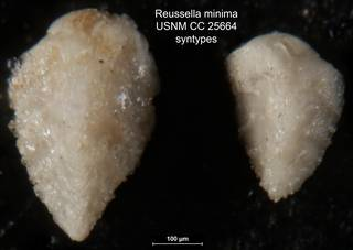 To NMNH Paleobiology Collection (Reussella minima USNM CC 25664 syntypes)