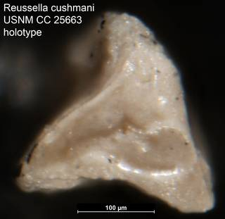 To NMNH Paleobiology Collection (Reussella cushmani USNM CC 25663 holotype 2)