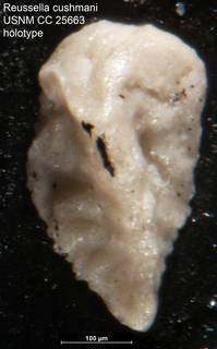 To NMNH Paleobiology Collection (Reussella cushmani USNM CC 25663 holotype)