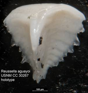To NMNH Paleobiology Collection (Reussella aguayoi USNM CC 30267 holotype)