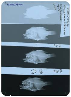 To NMNH Extant Collection (Glaucosoma hebraicum RAD107278-001)