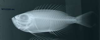 To NMNH Extant Collection (Priacanthus arenatus RAD107287-001)
