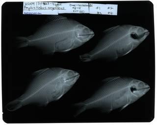 To NMNH Extant Collection (Amphistichus argenteus RAD107305-001)