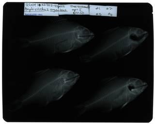 To NMNH Extant Collection (Amphistichus argenteus RAD107305-002)
