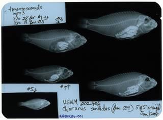 To NMNH Extant Collection (Chlorurus sordidus RAD107316-001)