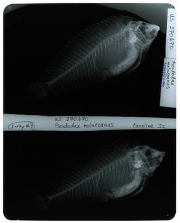 To NMNH Extant Collection (Pseudodax moluccanus RAD107327-001)