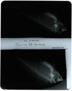 To NMNH Extant Collection (Pseudodax moluccanus RAD107327-004)